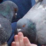 Dolina Bobru, Wleń, Legenda o gołębiach